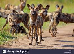 safari ltd african wild dog african wild dog stock photos african wild dog stock images alamy
