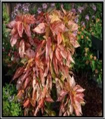 Teh Tehan teh tehan merah acalypha microphylla klotzsch taman husada
