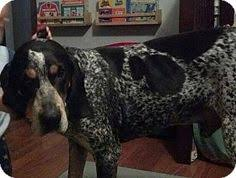bluetick coonhound in florida glen st mary fl bluetick coonhound meet daisy june a dog for