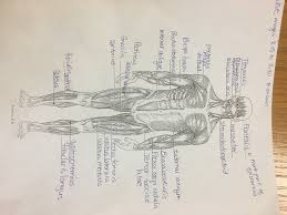 Anatomy And Physiology Chapter 9 Quiz Anatomy Mrs Zedan U0027s Science