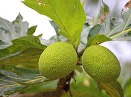breadfruit cultivation u2013 where does breadfruit grow and breadfruit
