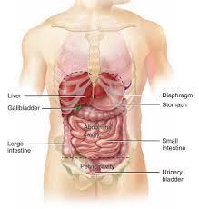 Picture Of Abdomen Anatomy Anatomy Of The Abdomen Category Abdomen دکتر محمد روشنی