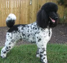 haircutsfordogs poodlemix 122 best poodles images on pinterest board dog love and dogs