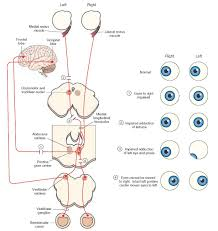 Cranial Nerves Worksheet Bb Week 3 Vision Flashcards Memorang