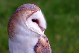 Barn Owl Photography Barn Free Pictures On Pixabay