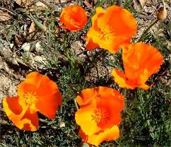 California Poppy Eschscholzia Californica California Poppy