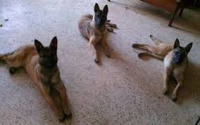 belgian malinois markings belgian malinois dog breed information and pictures