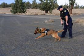 belgian sheepdog oregon central oregon u0027s k 9 unit trained police dogs are an asset to