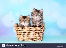 british longhair two kittens 8 weeks old in a wicker basket