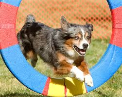 australian shepherd in california dogbreedz photo keywords snooker