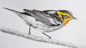 birds for buddies u2013 blackburnian warbler u2013 what was what is and