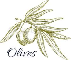 sketch of olive tree branch with green olives bunch vector isolated