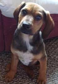 bluetick coonhound and bloodhound mix koooper the bloodhound mix u0027s photo gallery