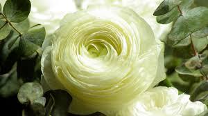 white flower buttercup white flower wallpapers in jpg format for free