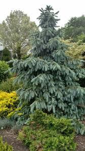 222 best specimen trees images on pinterest specimen trees