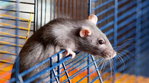 All Living Things Luxury Rat Pet Home by The Rat Cage Blog Posts Page 2 Teal Swan