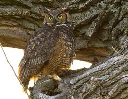 great horned owl mdc discover nature