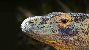 komodo dragon san diego zoo animals u0026 plants