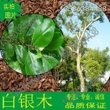 iron tree gentian seed silver tree garden green tree