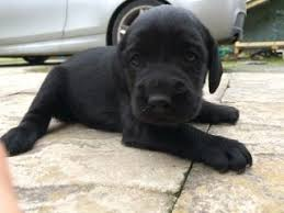 affenpinscher for sale canada springador dogs and puppies for sale in the uk pets4homes