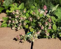 ornamental oregano of oregano