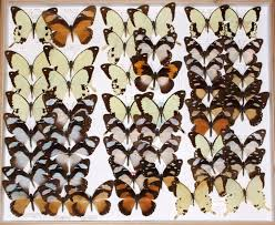 dna barcodes help solve butterfly classification conundrums
