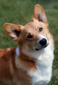 one is not amused foreign handbag dogs rocket as queen u0027s corgi in