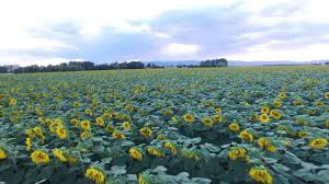 Grinter Farms Flying A Drone Over A Sunflower Field Youtube