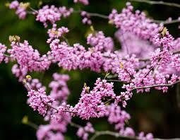 Pink Spring Flowering Shrubs - flowering spring trees mdc discover nature