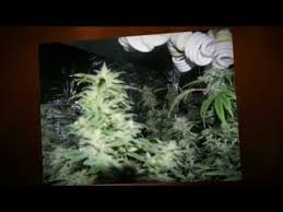 cfl grow lights for indoor plants how to grow pot without getting caught indoor growing cfl grow