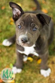 american pitbull terrier jugando 677 best pitbulls n parolees images on pinterest animals pit