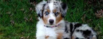 australian shepherd qld dog lovers blog page 5 of 39 pet paw