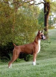 boxer dog keeps coughing riley the boxer i u0027m fallin u0027 in love again creatures i love