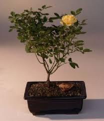 best outdoor deciduous bonsai trees