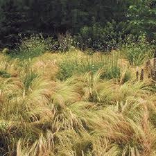 nassella stipa tenuissima mexican feather grass silky thread
