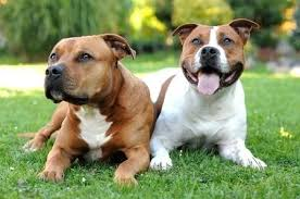 american pitbull terrier in india dangerous dog breeds a list of the most dangerous dogs in the world