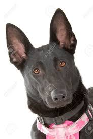 belgian shepherd ears stand up belgian black images u0026 stock pictures royalty free belgian black