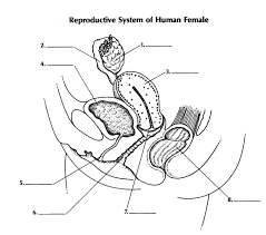 Male External Anatomy Male And Female Reproductive System Quiz Quiz Amp Worksheet Female