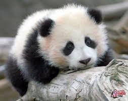 Memes De Pandas - fotos bonitas de osos panda animales pinterest panda