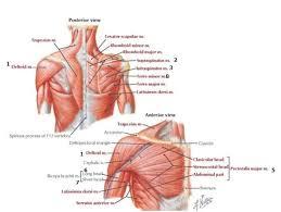Human Shoulder Diagram Human Anatomy Shoulder Bursitis Anatomy Shoulder Anatomy Bones