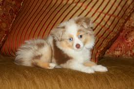 south carolina australian shepherd rescue blue horizon toy australian shepherds