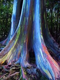 Eucalyptus Trees Rainbow Eucalyptus Trees Maui Hawaii Usa By Myla Kent U2022 Findery
