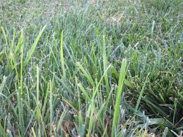 light green weed growing in lawn ask an expert