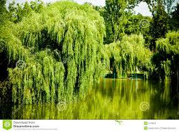 willow tree lake stock photography image 5739052