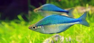 fish profile lake kutubu rainbowfish