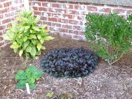 garden of aaron groundcover review ajuga bugleweed