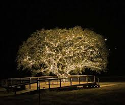 oak tree lighting google search are you are you coming to the