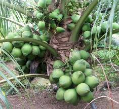 61 best tropical fruit bearing trees images on