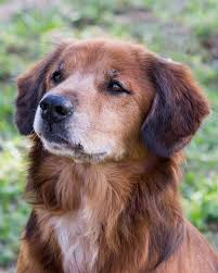 boxer dog rescue florida view ad chow chow mix dog for adoption florida miami usa