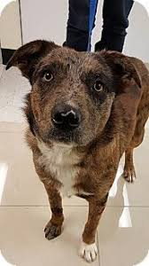australian shepherd cattle dog mix lewisville tx australian shepherd chow chow mix meet chewy a